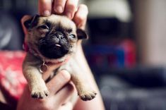Convincing people to rub her head. | 22 Things Poncho The Pug Is Better At Than You