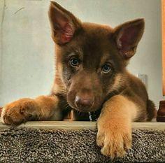 Liver color German Shepherd pup! Too cute!