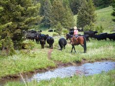 Cattle drives, history and beautiful riding at Montana's Bonanza Creek Ranch #RanchVacations #BonanzaCreekRanch