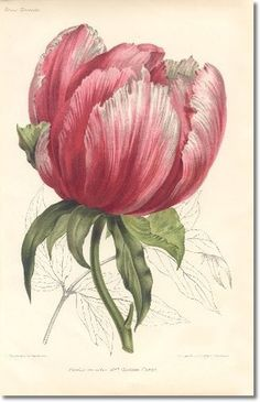 Revue Horticol - Botanical Print - Illustrated Book Plate Illustration from Revue Horticole 1800s - Botanical Print - 03 - FRENCH PEONY Painting