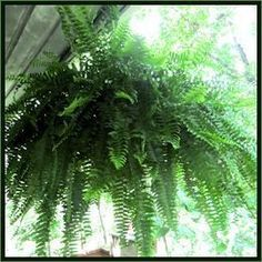 Good information for Boston Fern care. Indoors and out!