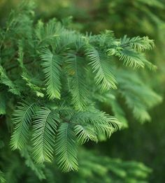 ❤The Best Conifers for Your Yard❤ Dawn Redwood:  Metasequoia glyptostroboides Dawn redwood offers feathery green needles that look gorgeous in spring and summer. In autumn, they turn russet red and then drop, exposing the tree's delightfully architectural branching habit.   Zones: 5-10 Full sun and moist, well-drained soil.  Varieties can grow as tall as 150 feet Grow It Because: You want something unique with good fall color -- and you don't mind that it loses its needles each winter.