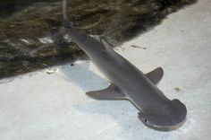 Bonnethead Shark. I want one.!!