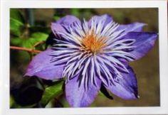 Foto Grusskarte lila Clematis
