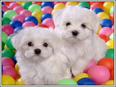 Two absolutely adorable Maltese puppies!