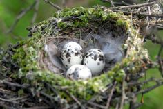 Discover wild bird eggs and nests with this photo gallery that includes explanations of bird nesting habits.