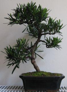 List of species used in bonsai - Wikipedia, the free encyclopedia Bonsai Plants, Bonsai Garden, Bonsai Trees, Podocarpus Bonsai, Garden Landscaping, Landscape, Floral, Beautiful, Gardening