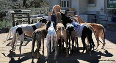 """Top 10"" lists abound on the internet, but I wanted to put my own spin on the subject.  Well, spoiler alert, there are WAY more than 10 greyt reasons to adopt a Greyhound, and I couldn't get the list down to less than 11!"