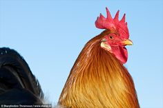 Icelandic Rooster | Flickr - Photo Sharing!