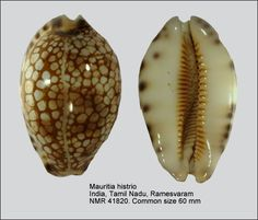 Mauritia histrio