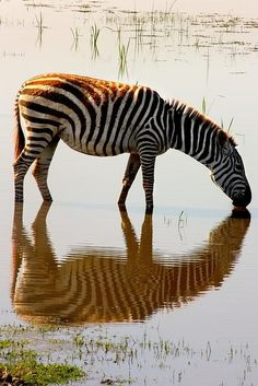Zebra at a watering hole, Amboseli National Park, Kenya.Zebras have shiny coats that dissipate over 70 percent of incoming heat, and some scientists b. Kenya, Game Reserve, Kingfisher, East Africa, Bird Species, Zebras, Animal Pictures, Amanda, National Parks