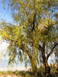 Fall Willow #4