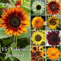 Sunflower Seed Packets Bridal Shower Favor   Etsy Sunflower Garden, Sunflower Seeds, Sunflower Types, Types Of Sunflowers, Growing Sunflowers Outdoors, Perennial Sunflower, Red Sunflowers, Gardening For Beginners, Gardening Tips