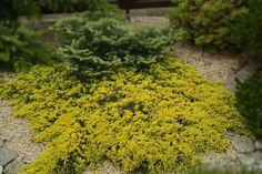 Juniperus horizontalis 'Golden Carpet' - jeneverbes - Coniferen   Maréchal