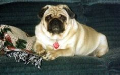 Queen Sarah Rala ~ Advice From A Wise Pug   Hello, my name is Queen Sarah Rala and I'm a Chinese Pug. My human is Nancy, who writes my helpful advice that I pass along for up and coming…