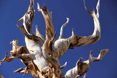 The Bristlecone Pine: Twisted Contortions of the Ancients ~ Kuriositas
