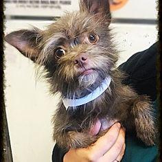 Los Alamitos, CA- *puppy*  - Yorkie, Yorkshire Terrier. Meet Hazel, a for adoption. https://www.adoptapet.com/pet/19167010-los-alamitos-california-yorkie-yorkshire-terrier-mix
