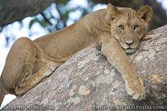 #Lion hugging a tree ( #Kafue National Park, Zambia) - #Zambia travel guide: http://www.safaribookings.com/zambia