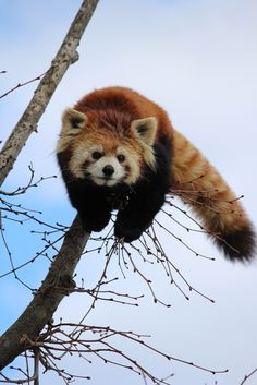OMG so cute I love red pandas
