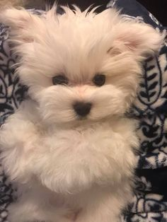 Adorable #maltese.