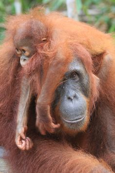 Orangutan mother and baby Primates, Mammals, Cute Baby Animals, Animals And Pets, Funny Animals, Animal Babies, Strange Animals, Monkey Pictures, Animal Pictures