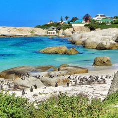 """""""Penguins  - Boulders Beach, South Africa Boulders Beach is located 40 km from Cape Town and is a sheltered cove of soft white sand and massive granite…"""""""