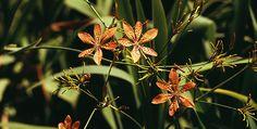Encyklopedie rostlin: Angínovník čínský | Dům a zahrada - bydlení je hra Plants, Flora, Plant