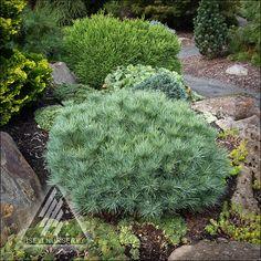 The Amazing World of Conifers Landscape Design, Garden Design, Outdoor Plants, Outdoor Decor, Garden Planner, Palmiers, Garden Shrubs, Types Of Flowers, Trees And Shrubs
