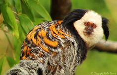 'Geoffrey's Marmoset' (Callithrix geoffroyi) at a zoo in England - photo by Leucareth on deviantART;  It is also known as white-headed marmoset and tufted-ear marmoset. It is a distinctive monkey with white cheeks, forehead and throat, and its long black ear-tufts, tan to black face, and dark coat. The body is greyish-black mottled with yellow-orange on the upperparts, brown on the underparts, and the long black tail is lightly ringed. They are endemic to Brazil.
