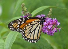 https://flic.kr/p/WVmFta | Monarch Butterfly