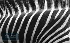 Zebra in Zambia