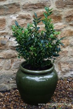 Sarcococca confusa (sweet box) is a highly-scented, winter-flowering evergreen shrub that grows well in containers, loves shade, and is drought-tolerant. Container Plants, Container Gardening, Gardening Tips, Winter Flowers, Bright Flowers, Sweet Box, Beneficial Insects, Evergreen Shrubs, Small Trees