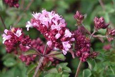 Origanum Laevigatum-Hybride 'Rosenkuppel' - Blumen-Dost, Heidegünsel