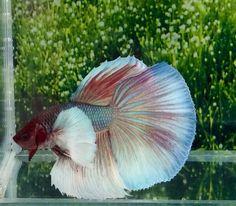 #80 Thai Import Red White & Blue Dumbo Big Ears Halfmoon Male Betta Live Fish