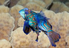 .2mandarin fish, mating dance.
