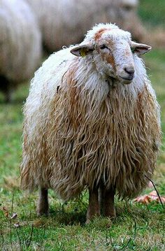 Not the fluffy, kinky cutsie sheep we tend to think of, but very beautiful