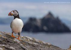 Puffin on Skellig Michael Wild Atlantic Way, Strand, Feathers, Workshop, Coast, Nature, Animals, Atelier, Naturaleza