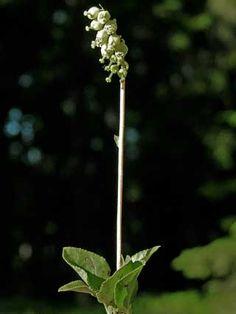 Nuokkutalvikki, Orthilia secunda - Kukkakasvit - LuontoPortti
