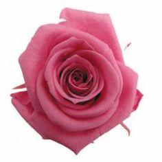 FL0100-22 Standard Rose / New York Pink