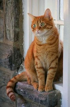 Tiger Cat: Is There A Domestic Tiger Breed - Tabby Cat - Ideas of Tabby Cat - orange tabby cat The post Tiger Cat: Is There A Domestic Tiger Breed appeared first on Cat Gig. Cute Cats And Kittens, Cool Cats, Kittens Cutest, Ragdoll Kittens, Funny Kittens, Bengal Cats, White Kittens, Black Cats, Orange Tabby Cats