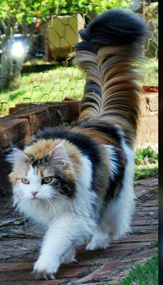 """This is either a Maine Coon or a Norwegian Forest cat. - This is either a Maine Coon or a Norwegian Forest cat…beautiful! """"This is either a Maine Coon o - Cute Baby Cats, Cute Cats And Kittens, Cute Baby Animals, Kittens Cutest, Funny Kittens, White Kittens, Black Cats, Most Beautiful Cat Breeds, Beautiful Cats"""
