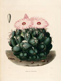 El enanito jardinero: Ilustración botánica