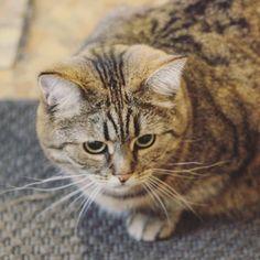 «#dashka_the_cat  #cat #cats #topcatfoto #meowbox #bestmeow #catsofinstagram #a_world_of_cats #funpetliveclub #excellent_cats #petsbro #7catdays…»