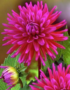 A beautiful magenta colour Dahlia. Exotic Flowers, Amazing Flowers, Pink Flowers, Beautiful Flowers, Simple Flowers, Flowers Illustration, Flowers Wallpaper, Flowers Australia, Types Of Flowers