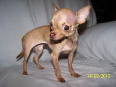 Bitsy #344 is an adoptable Chihuahua Dog in Clear Lake, WA. Bitsy, the wonder chi. Just over a year old and just under two lb. She has been seen by two vets and had a phone consult with a third vet. S...