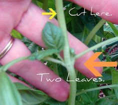 How to prune basil to have enormous plants.