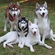 Wonderful All About The Siberian Husky Ideas. Prodigious All About The Siberian Husky Ideas. Alaskan Husky, Malamute Husky, Husky Puppy, Cute Puppies, Cute Dogs, Dogs And Puppies, Doggies, Beautiful Dogs, Animals Beautiful