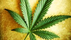 Spain Study Confirms Hemp Oil Cures Cancer without Side Effects