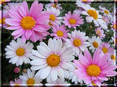 These will be my wedding flowers!!! Daisies are such a happy flower!