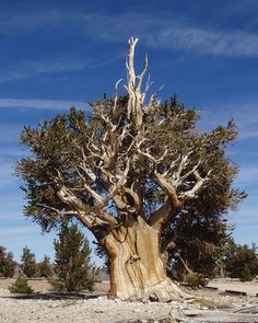 Bristlecone pine, a genus of tree thought to be the oldest on earth. From nasa's earth science picture of the day.